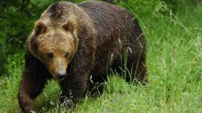 Αρκούδα κατασπάραξε γαϊδουράκι στα Τρίκαλα