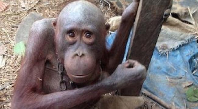 Ο πιο θλιμμένος ουρακοτάγκος στον κόσμο - Ήταν αλυσοδεμένος για 4 χρόνια