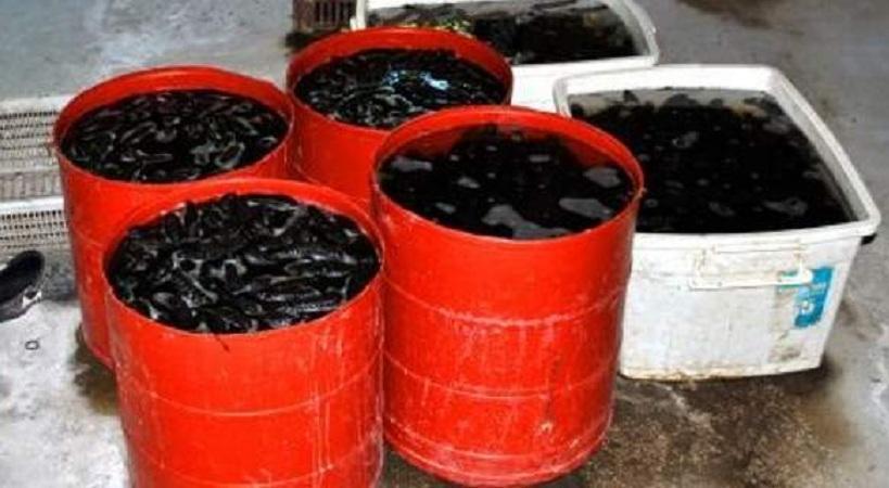 Κινέζοι είχαν «ρημάξει» τον Μαλλιακό: Ψάρευαν «αγγούρια της θάλασσας» που κοστίζουν 1.000 ευρώ