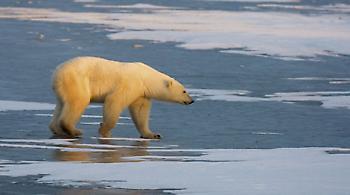 Γιατί οι πολικές αρκούδες εγκαταλείπουν την Αρκτική