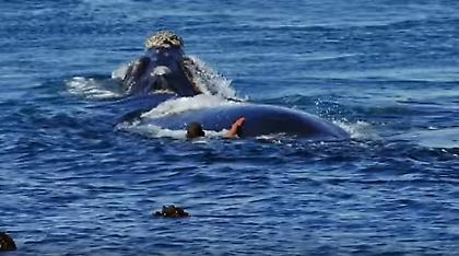 Εκπληκτικό βίντεο: Φάλαινες 10 μέτρων «χορεύουν» γύρω από κολυμβητή