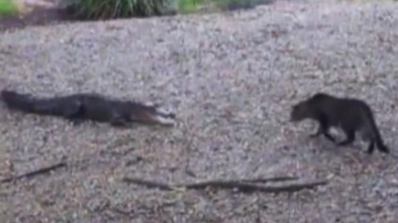 Γάτα τα βάζει με αλιγάτορα και κερδίζει