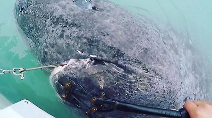 «Ψάρεψαν» καρχαρία 512 ετών: Το γηραιότερο εν ζωή πλάσμα στον κόσμο! (video)