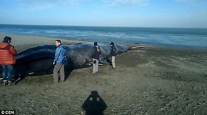 Κουφάρι γαλάζιας φάλαινας έχει μετατραπεί σε αξιοθέατο για φωτογραφίες και μηνύματα