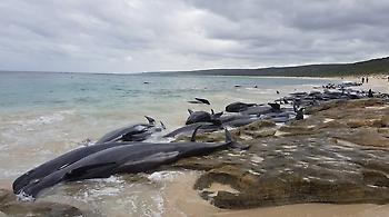 Θλίψη για τις 130 φάλαινες που εγκλωβίστηκαν και πέθαναν σε ακτή της Αυστραλίας