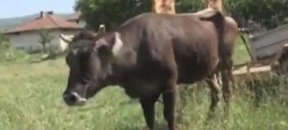 Γλίτωσε τη θανάτωση η αγελάδα που είχε περάσει τα σύνορα Σερβίας-Βουλγαρίας