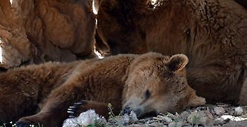 Από φυσικά αίτια ο θάνατος της αρκούδας στην Πολυκάρπη Καστοριάς