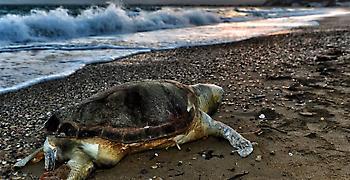 Μέτρα προστασίας της χελώνας caretta caretta ζητούν 53 βουλευτές του ΣΥΡΙΖΑ
