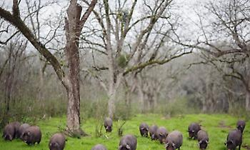 Περισσότερα τα γουρούνια από τους ανθρώπους στην Ισπανία!