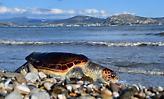 Χελώνα καρέτα - καρέτα βρέθηκε νεκρή στις ακτές της Αττικής