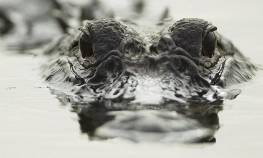 Μία 45χρονη γυναίκα νεκρή από επίθεση αλιγάτορα στη Νότια Καρολίνα