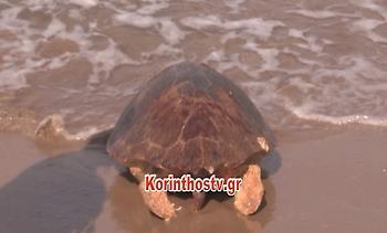 Χελώνα καρέτα – καρέτα εντοπίστηκε νεκρή στην παραλία του Άσσου Κορινθίας