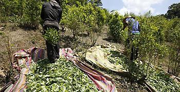 Παραμένει πρώτη στην παραγωγή κοκαΐνης στον πλανήτη η Κολομβία