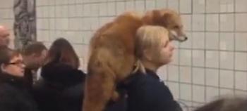 Ασυνήθιστο θέαμα: Αλεπού μέσα στο μετρό της Μόσχας -Με λουρί στους ώμους γυναίκας (video)