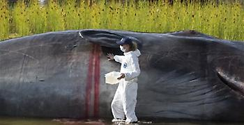 Έξι κιλά πλαστικά απόβλητα είχε στο στομάχι της φάλαινα που βρέθηκε νεκρή