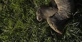 «Ναι» στη σφαγή ελεφάντων από την Μποτσουάνα: Προτείνει κονσερβοποίηση