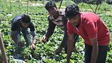 Παραμένουν τραγικές οι συνθήκες στα φραουλοχώραφα της Μανωλάδας