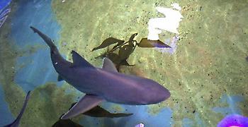 Νεοϋρκέζος κρατούσε παράνομα καρχαρίες στην πισίνα του για να τους πουλάει!