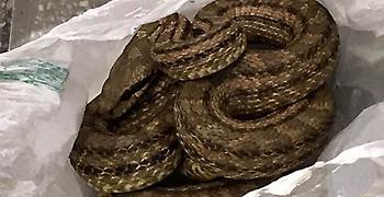 Βρήκαν φίδι σε ψυγείο εστιατορίου στη Θεσσαλονίκη