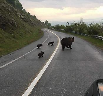 Ώρα για σχολείο: Η βόλτα μιας οικογένειας αρκούδων στη Φλώρινα