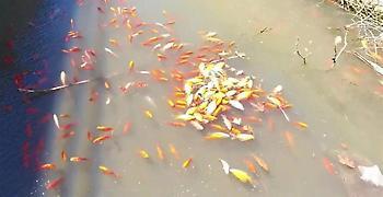Κρήτη: Γέμισε με νεκρά ψάρια το φράγμα Αποσελέμη (pics)