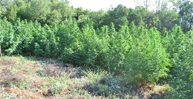 Πάνω από 3000 δενδρύλλια κάνναβης εντόπισε σε φυτείες η Δίωξη Ναρκωτικών