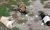 Φλώρινα: Μαζική δηλητηρίαση 26 σκύλων από φόλες