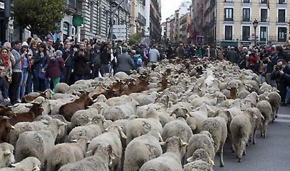 Πορεία χιλιάδων προβάτων στο κέντρο της Μαδρίτης