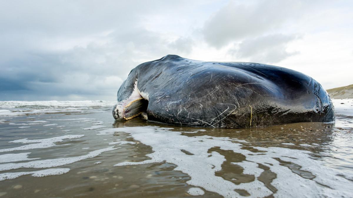 Φάλαινα με 100 κιλά σκουπίδια στο στομάχι νεκρή στις ακτές της Σκωτίας