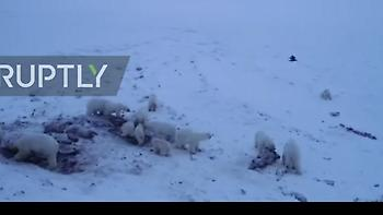 Η επέλαση της αρκούδας : Πάνω από 50 πεινασμένες αρκούδες εισέβαλαν σε ρωσικό χωριό (vid)