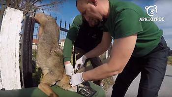Έσωσαν λύκαινα που είχε κρεμαστεί σε καγκελόπορτα στη Θεσσαλονίκη (pics, vid)