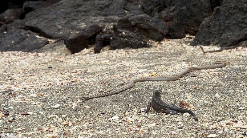 Απίθανο βίντεο με φίδια να καταδιώκουν ιγκουάνα (video)