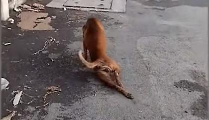 Απίστευτο σκυλί: Παριστάνει το κουτσό για να κερδίσει την προσοχή των περαστικών