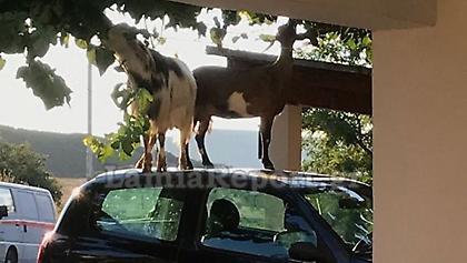 Απίστευτο περιστατικό στη Λαμία: Οδηγός βρήκε κατσίκες να χοροπηδάνε πάνω στο αμάξι της