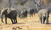 Μποτσουάνα: Μυστήριο και προβληματισμός γύρω από τον θάνατο 300 ελεφάντων σε 2 μήνες