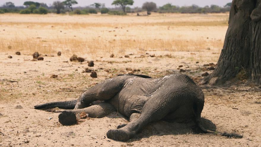 Μποτσουάνα: Παγκόσμιο σοκ με τον θάνατο 275 ελεφάντων - Τι δείχνουν οι πρώτες έρευνες