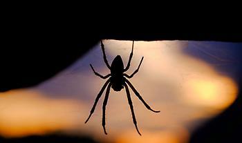 Ρίο: Στο νοσοκομείο ασθενής από τσίμπημα μαύρης αράχνης - Επιχείρηση για μεταφορά αντίδοτου