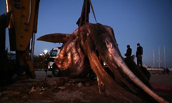 Ξεβράστηκε φάλαινα 8 μέτρων στον Πειραιά (video)