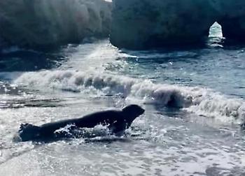 Εντυπωσιακό: «Ποδαρικό» στην Κάρπαθο από φώκια Monachus monachus (video)