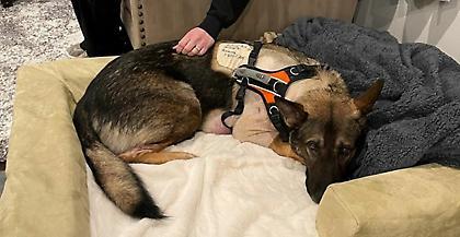 Σκύλος Κ-9 έσωσε τους αστυνομικούς δεχόμενος αυτός σφαίρα! Η επιστροφή του στο τμήμα (video)