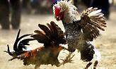 Αδιανόητο: Κόκορας με λεπίδα στο πόδι σκότωσε τον ιδιοκτήτη του!