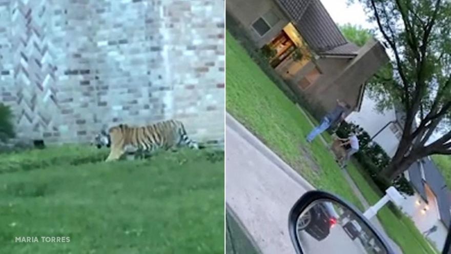 Τίγρης έκανε βόλτα σε γειτονιά του Χιούστον (video)