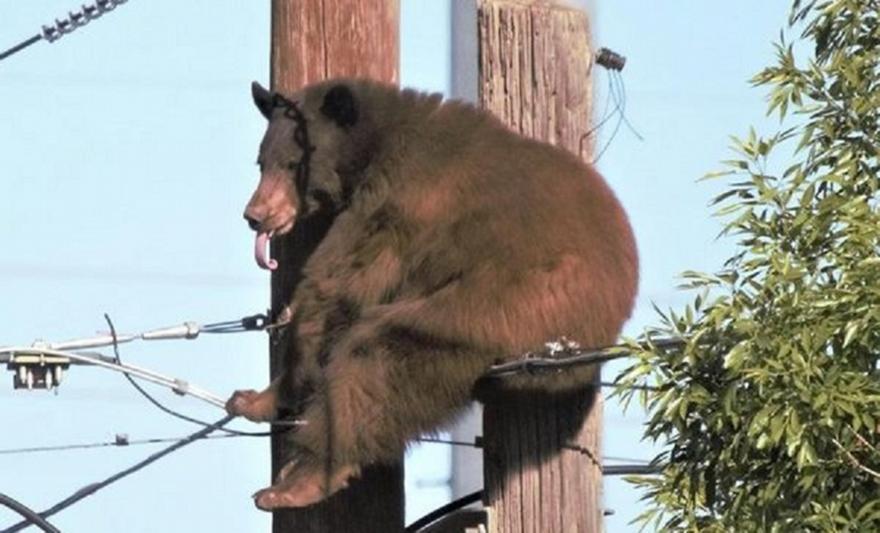 Αριζόνα: Αρκούδα «άραξε» πάνω σε κολόνα ηλεκτροδότησης