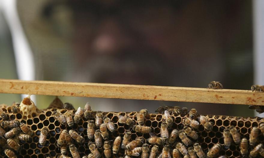 Νότια Αφρική: Μέλισσες σκότωσαν 63 πιγκουίνους
