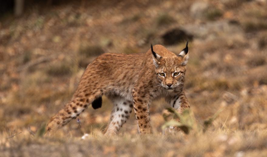 Λύγκας: Το άγριο θηλαστικό που είχε εξαφανιστεί